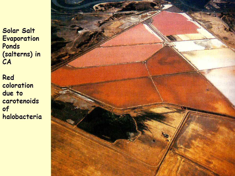 Solar Salt Evaporation Ponds (salterns) in CA Red coloration due to carotenoids of halobacteria