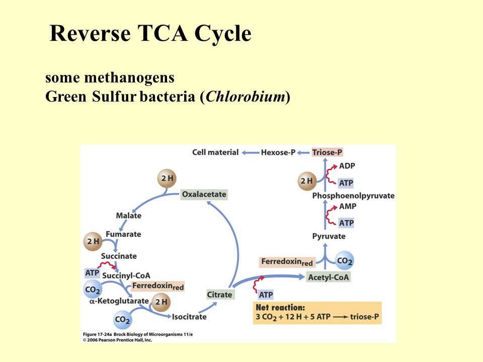 Reverse TCA Cycle some methanogens Green Sulfur bacteria (Chlorobium)