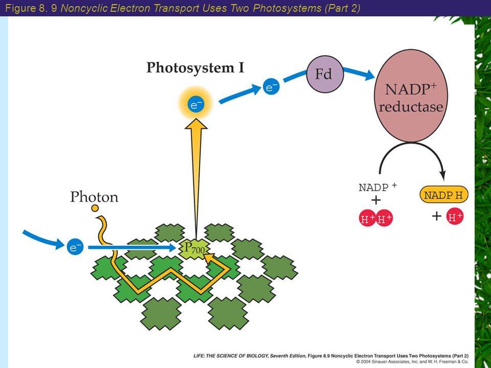 Figure 8. 9 Noncyclic Electron Transport Uses Two Photosystems (Part 2)