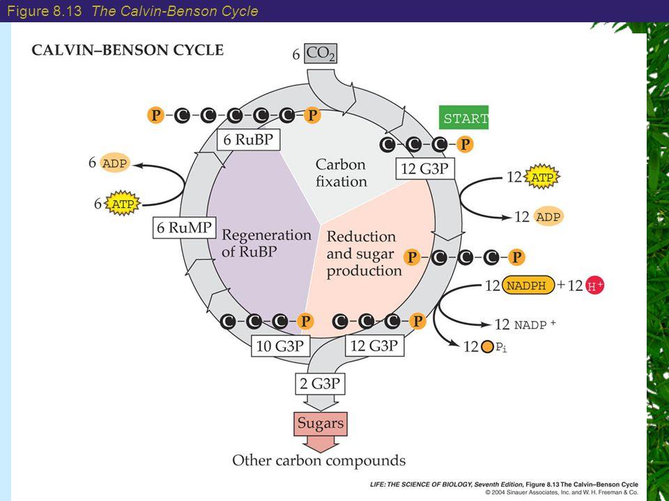 Figure 8.13 The Calvin-Benson Cycle