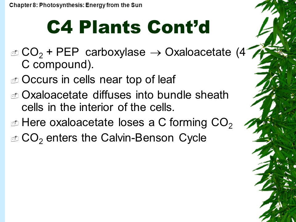 C4 Plants Cont'd CO2 + PEP carboxylase  Oxaloacetate (4 C compound).