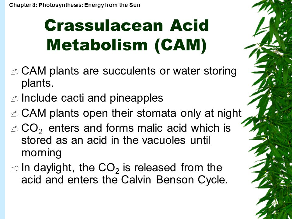Crassulacean Acid Metabolism (CAM)