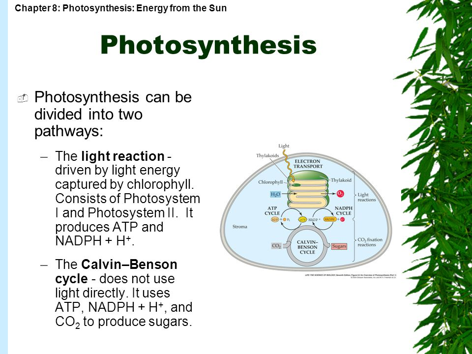 Photosynthesis Photosynthesis can be divided into two pathways: