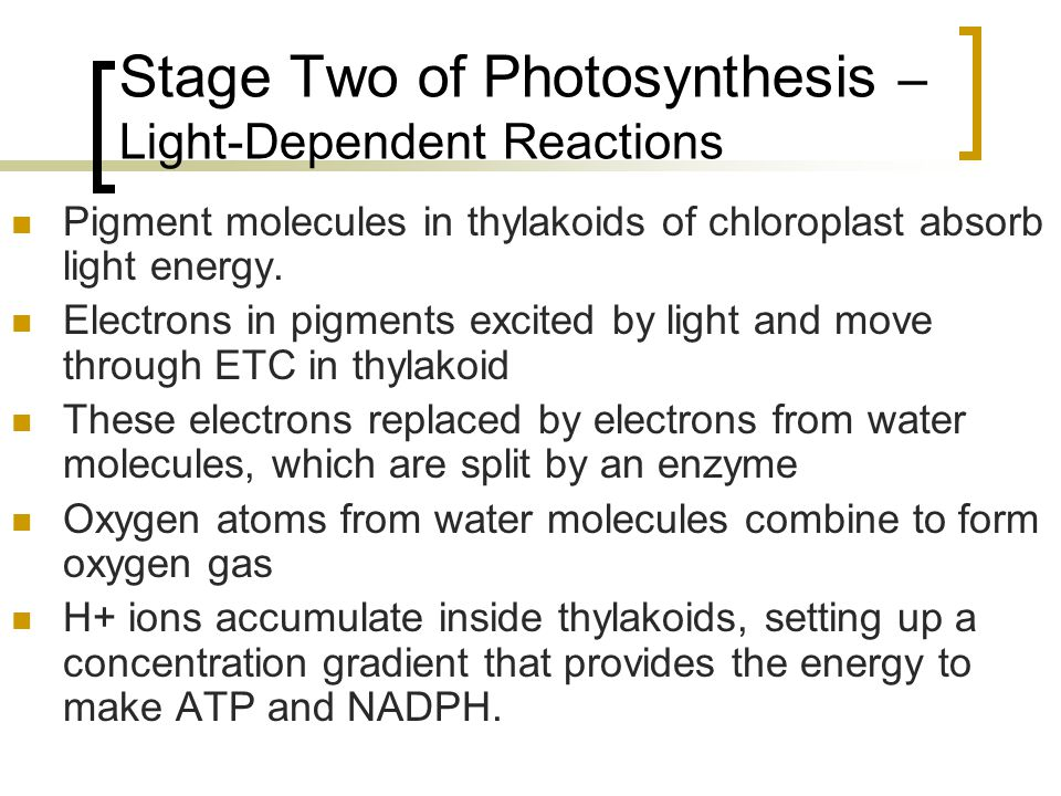 Stage Two of Photosynthesis – Light-Dependent Reactions