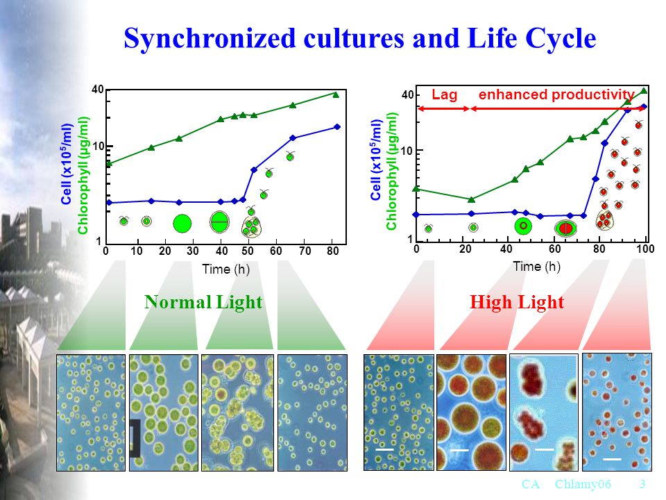 Synchronized cultures and Life Cycle