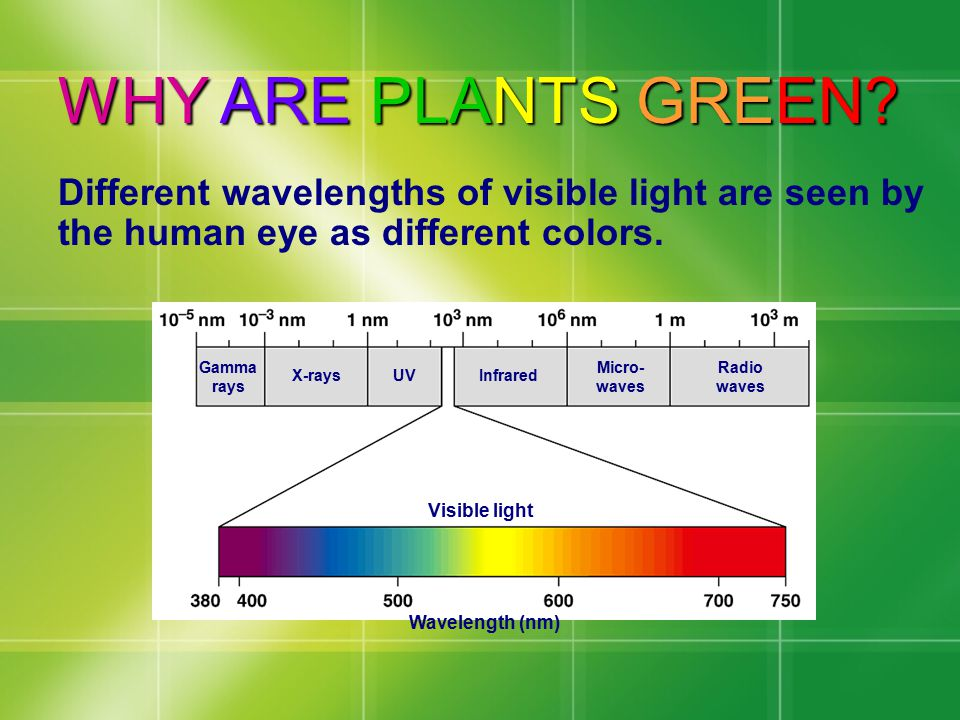 WHY ARE PLANTS GREEN Different wavelengths of visible light are seen by the human eye as different colors.