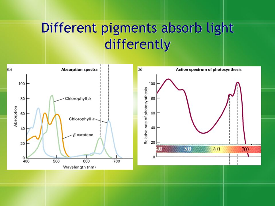 Different pigments absorb light differently