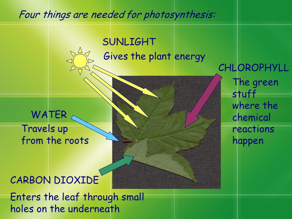 Four things are needed for photosynthesis: