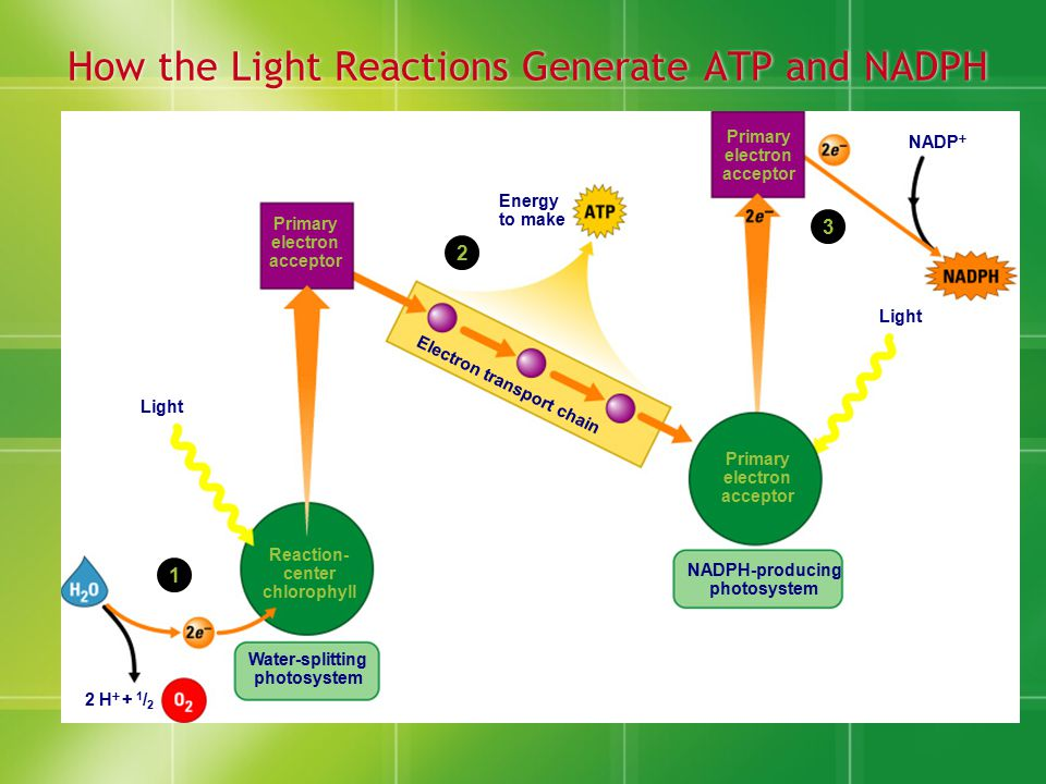 How the Light Reactions Generate ATP and NADPH