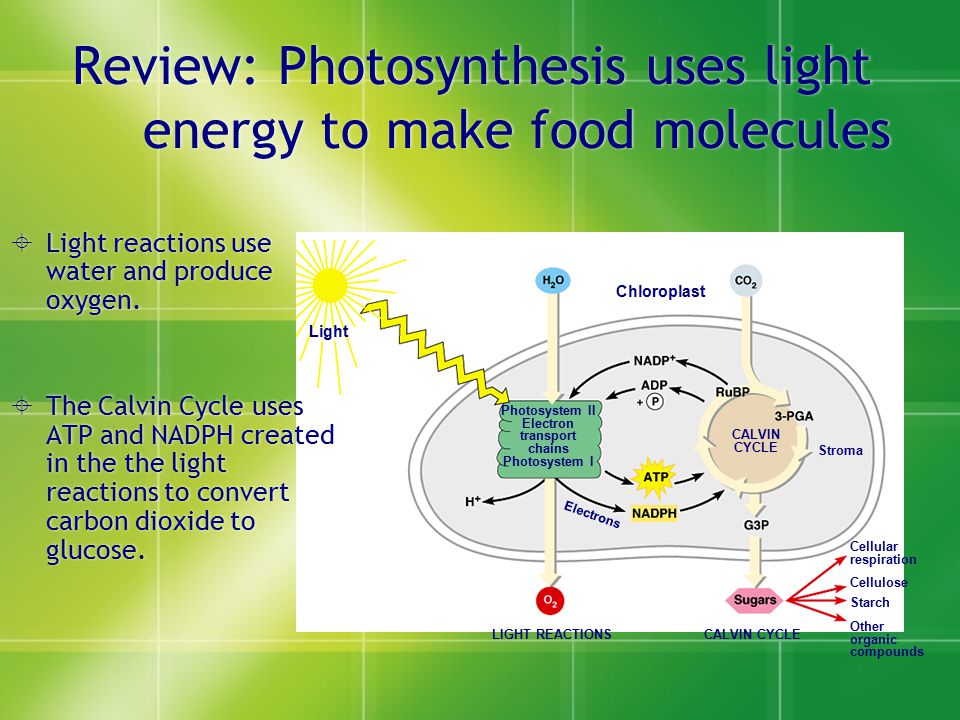 Review: Photosynthesis uses light energy to make food molecules