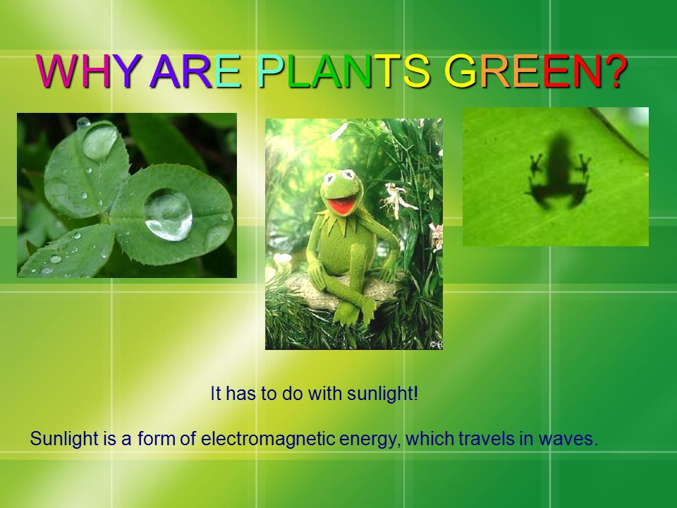 WHY ARE PLANTS GREEN It has to do with sunlight!