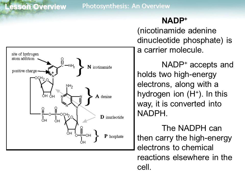 NADP+ (nicotinamide adenine dinucleotide phosphate) is a carrier molecule.