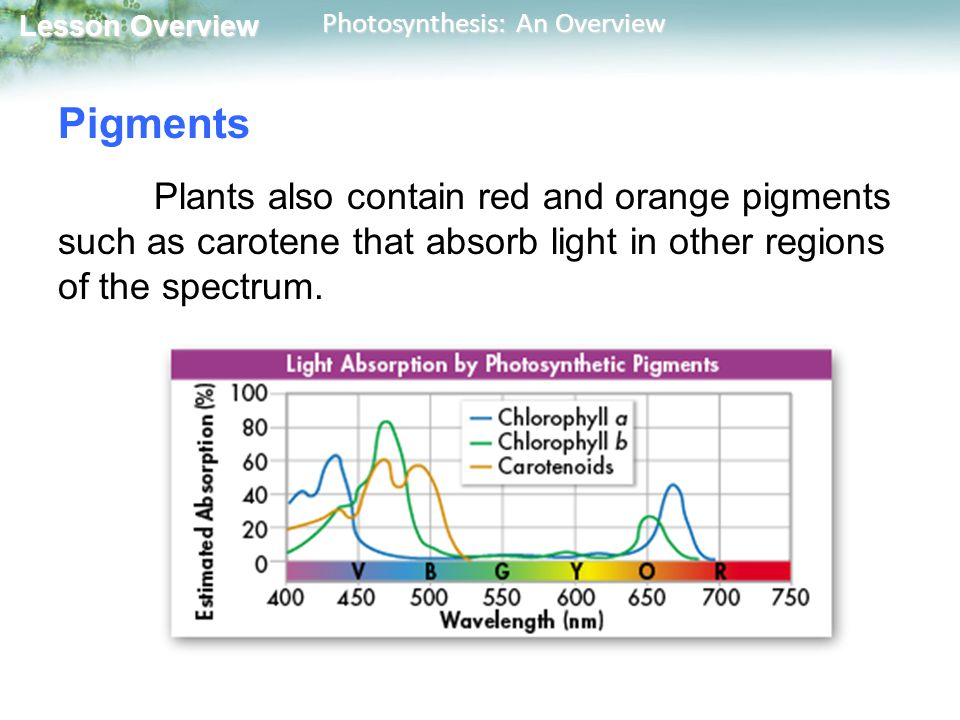 Pigments Plants also contain red and orange pigments such as carotene that absorb light in other regions of the spectrum.