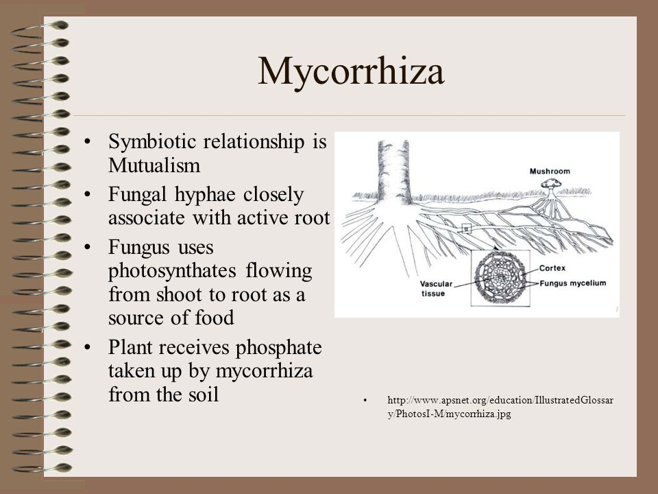 Mycorrhiza Symbiotic relationship is Mutualism