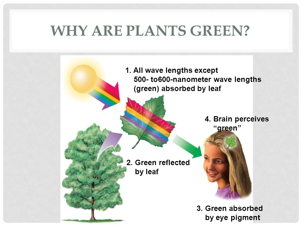 Why are plants green 1. All wave lengths except