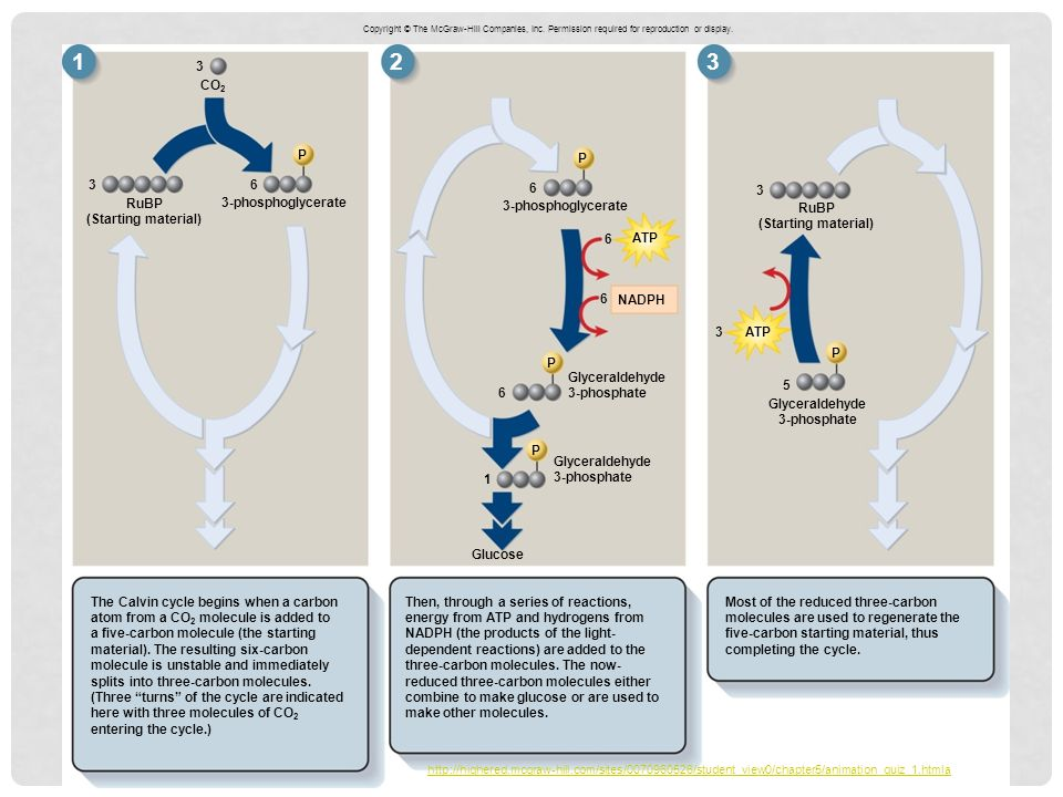 2 P The Calvin cycle begins when a carbon