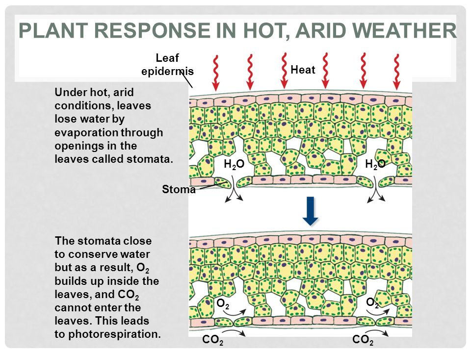 Plant response in hot, arid weather