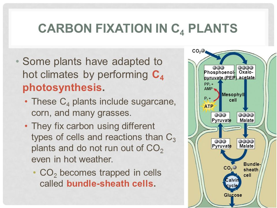 Carbon fixation in C4 plants