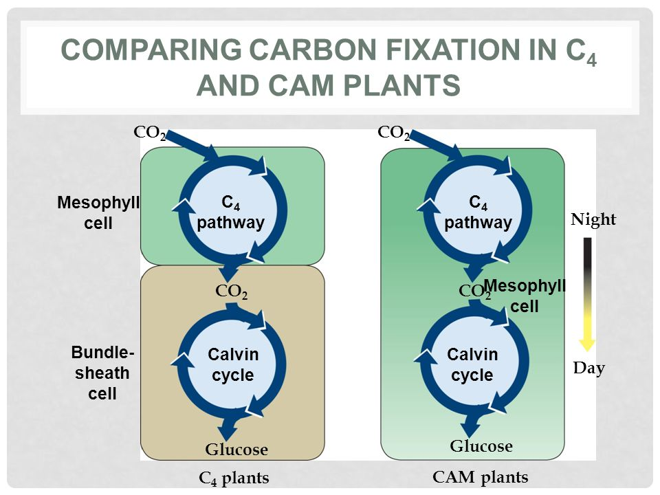 Comparing carbon fixation in C4 and CAM plants