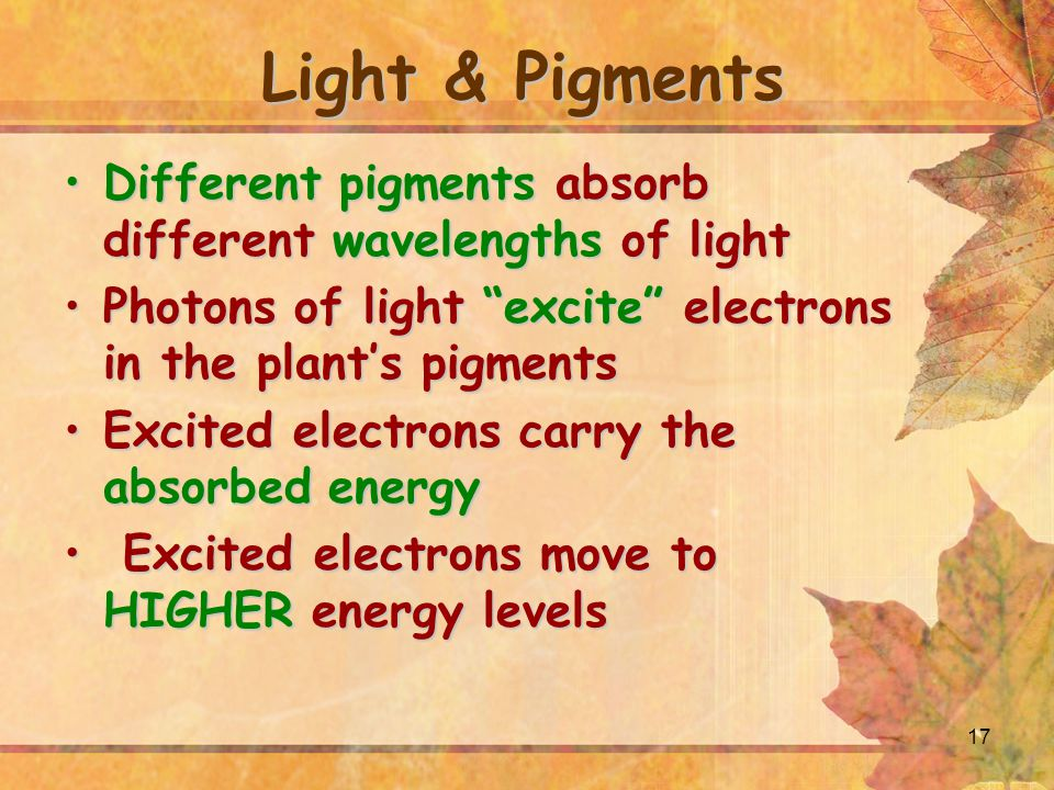 Light & Pigments Different pigments absorb different wavelengths of light. Photons of light excite electrons in the plant's pigments.