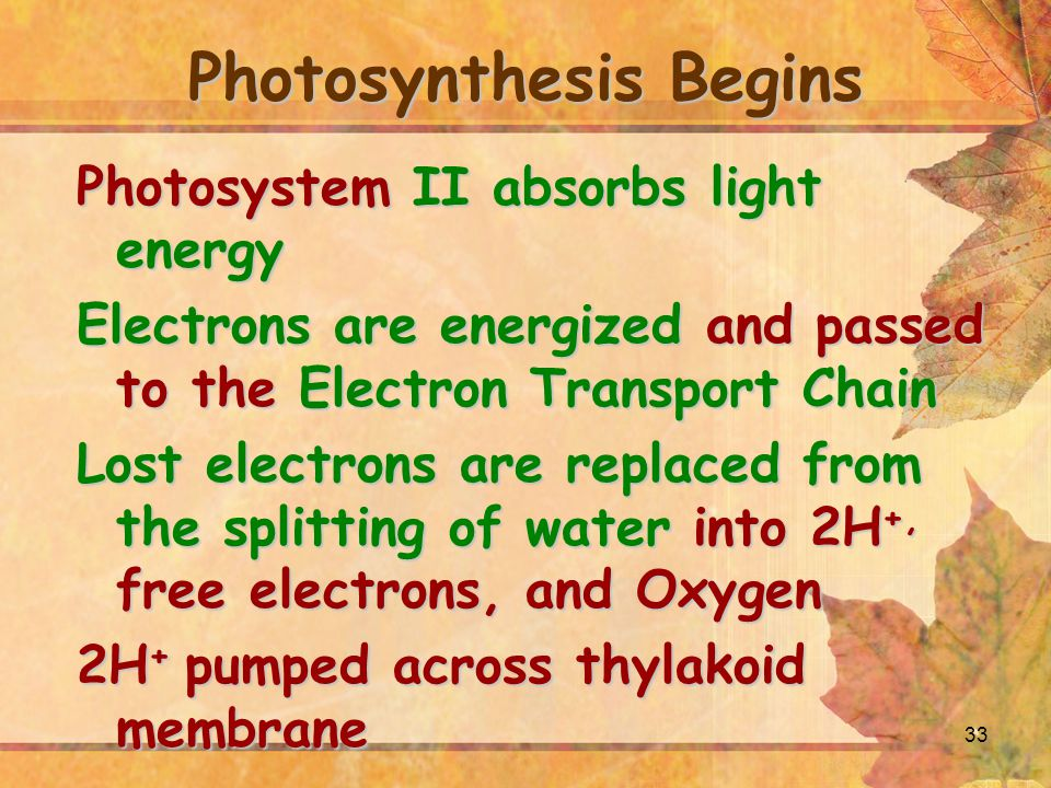 Photosynthesis Begins