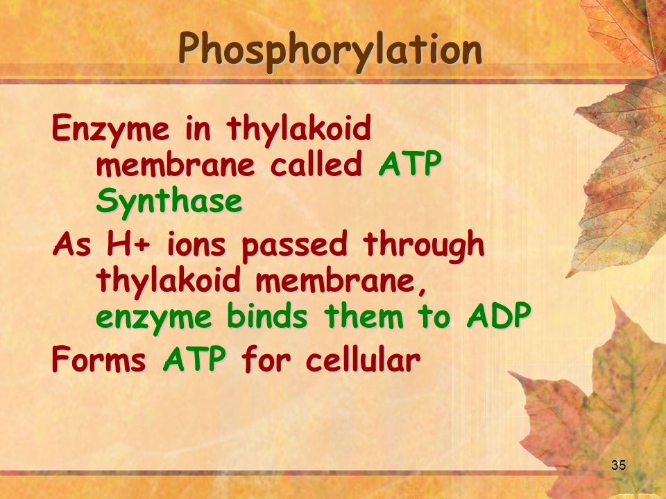Phosphorylation Enzyme in thylakoid membrane called ATP Synthase