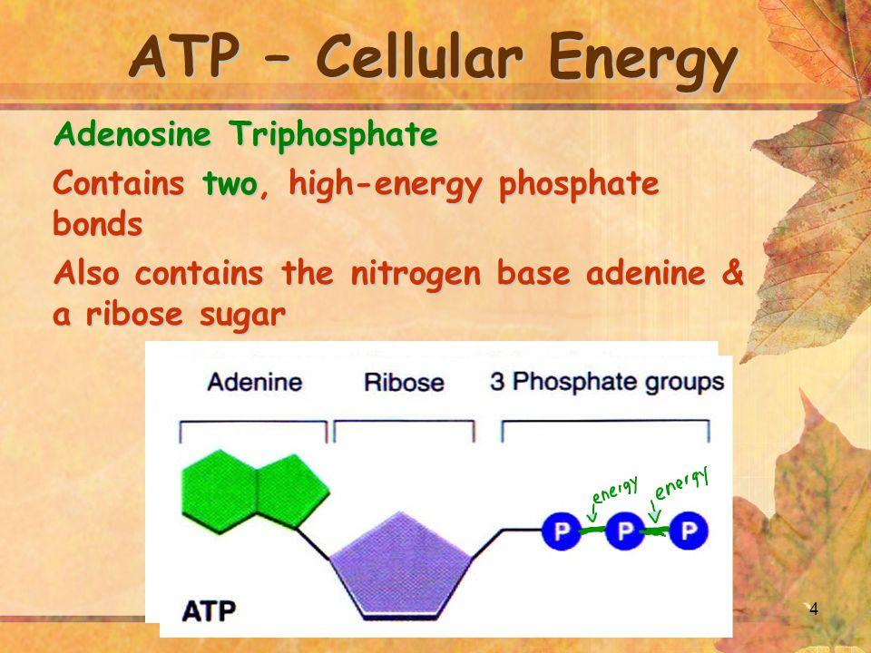 ATP – Cellular Energy Adenosine Triphosphate