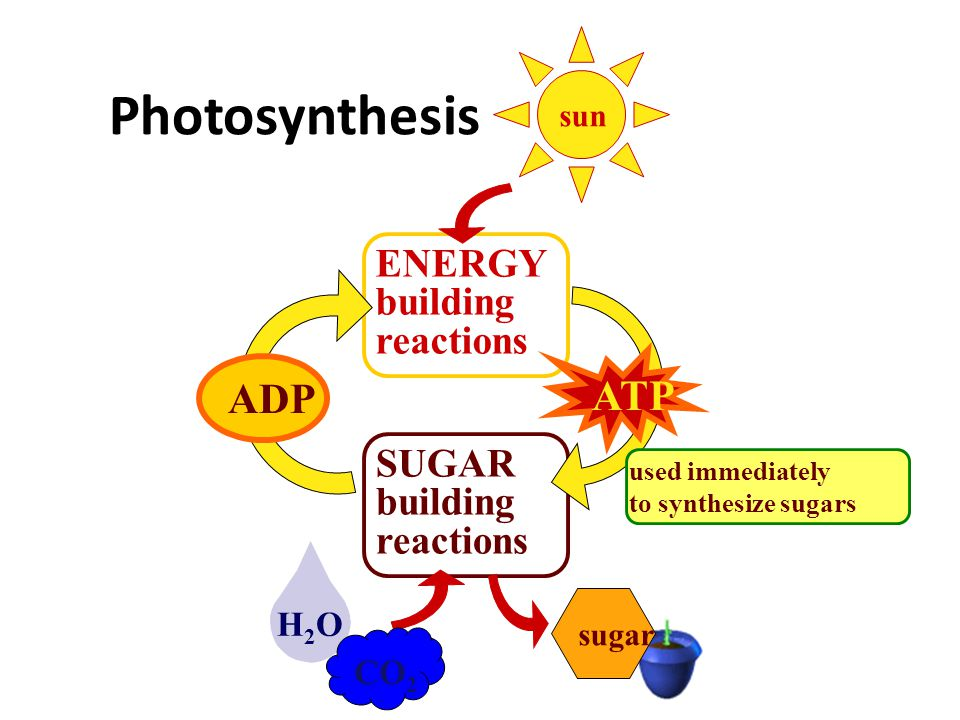 Photosynthesis ATP ADP ENERGY building reactions