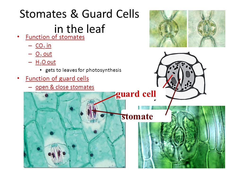 Stomates & Guard Cells in the leaf