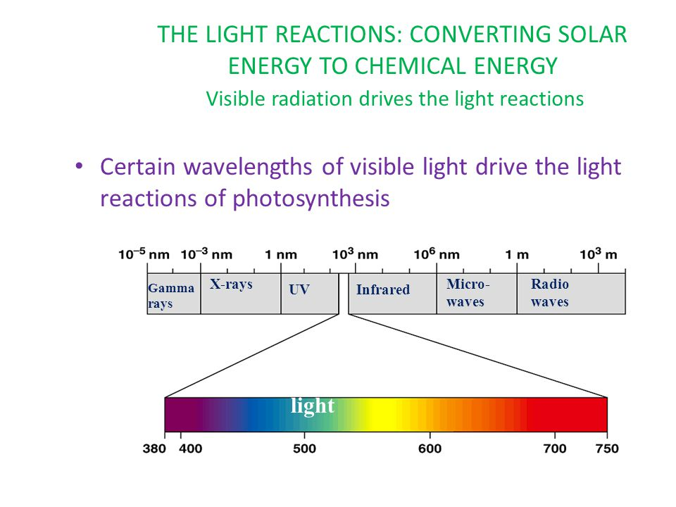 THE LIGHT REACTIONS: CONVERTING SOLAR ENERGY TO CHEMICAL ENERGY Visible radiation drives the light reactions