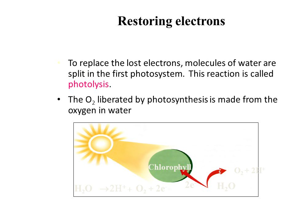 Restoring electrons To replace the lost electrons, molecules of water are split in the first photosystem. This reaction is called photolysis.