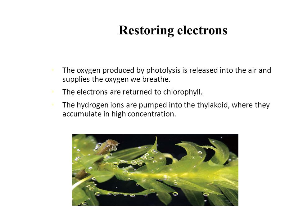 Restoring electrons The oxygen produced by photolysis is released into the air and supplies the oxygen we breathe.