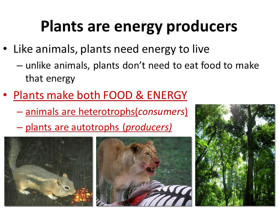 Plants are energy producers