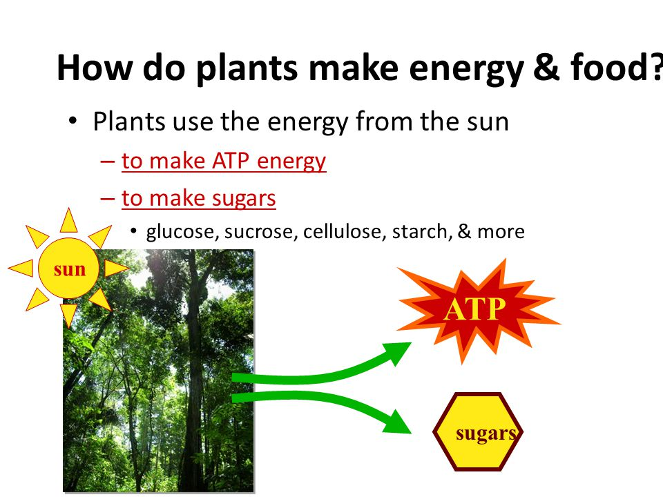 How do plants make energy & food