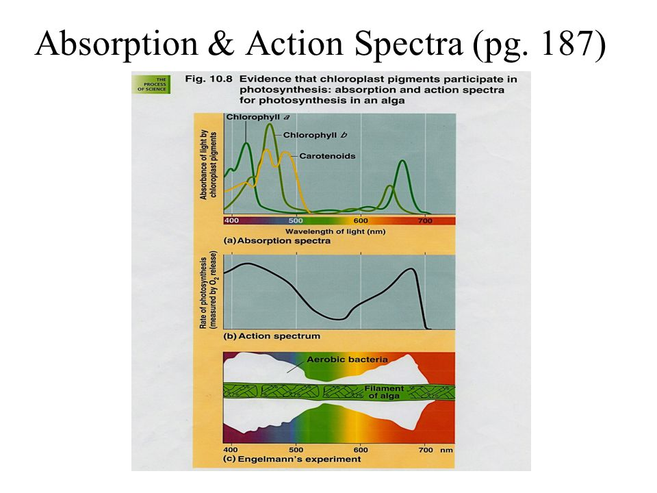 Absorption & Action Spectra (pg. 187)