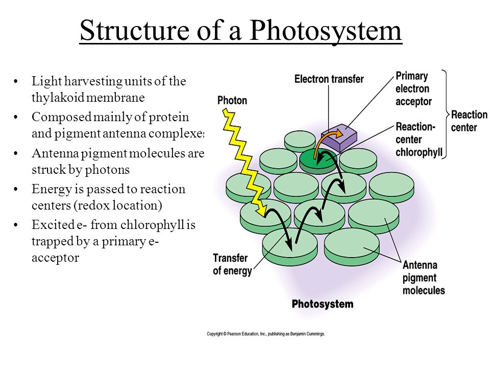Structure of a Photosystem