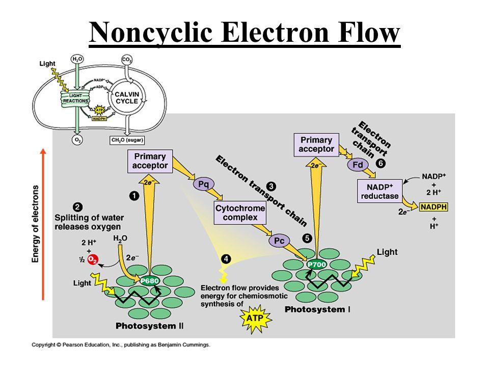 Noncyclic Electron Flow