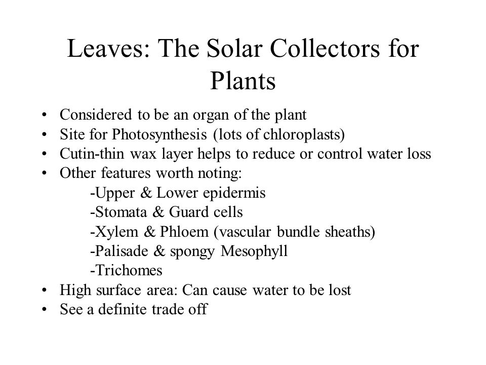 Leaves: The Solar Collectors for Plants