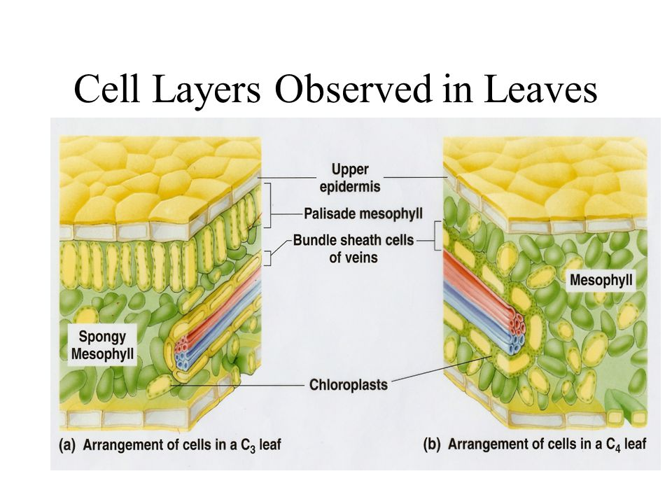 Cell Layers Observed in Leaves