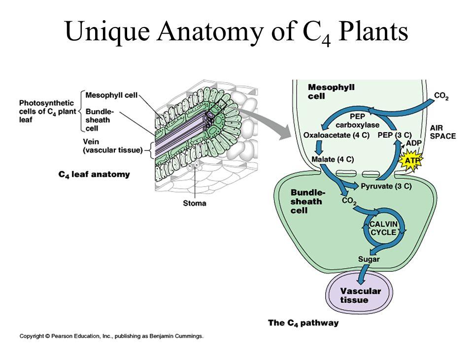 Unique Anatomy of C4 Plants
