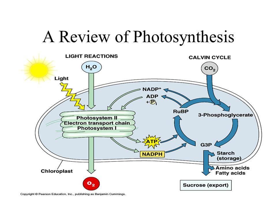 A Review of Photosynthesis