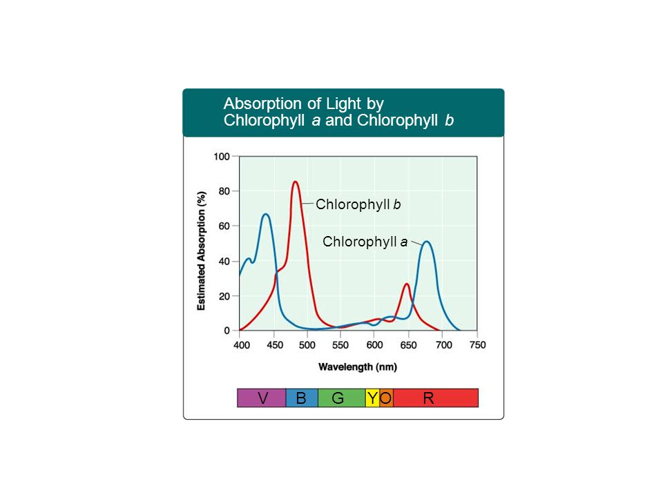 Chlorophyll a and Chlorophyll b Absorption of Light by