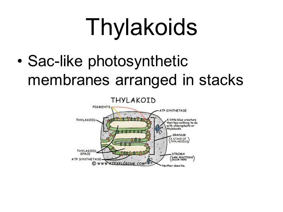 Thylakoids Sac-like photosynthetic membranes arranged in stacks