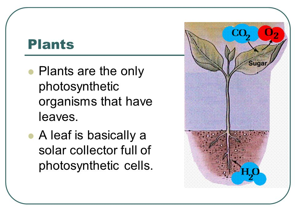 Plants Plants are the only photosynthetic organisms that have leaves.