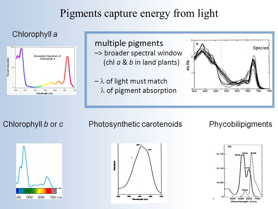 Pigments capture energy from light
