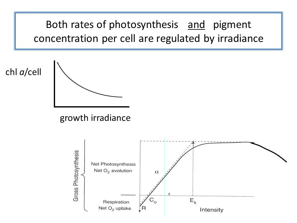 Both rates of photosynthesis and pigment concentration per cell are regulated by irradiance
