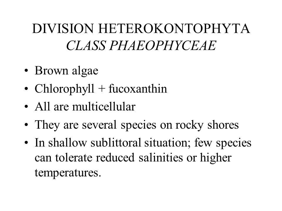 DIVISION HETEROKONTOPHYTA CLASS PHAEOPHYCEAE