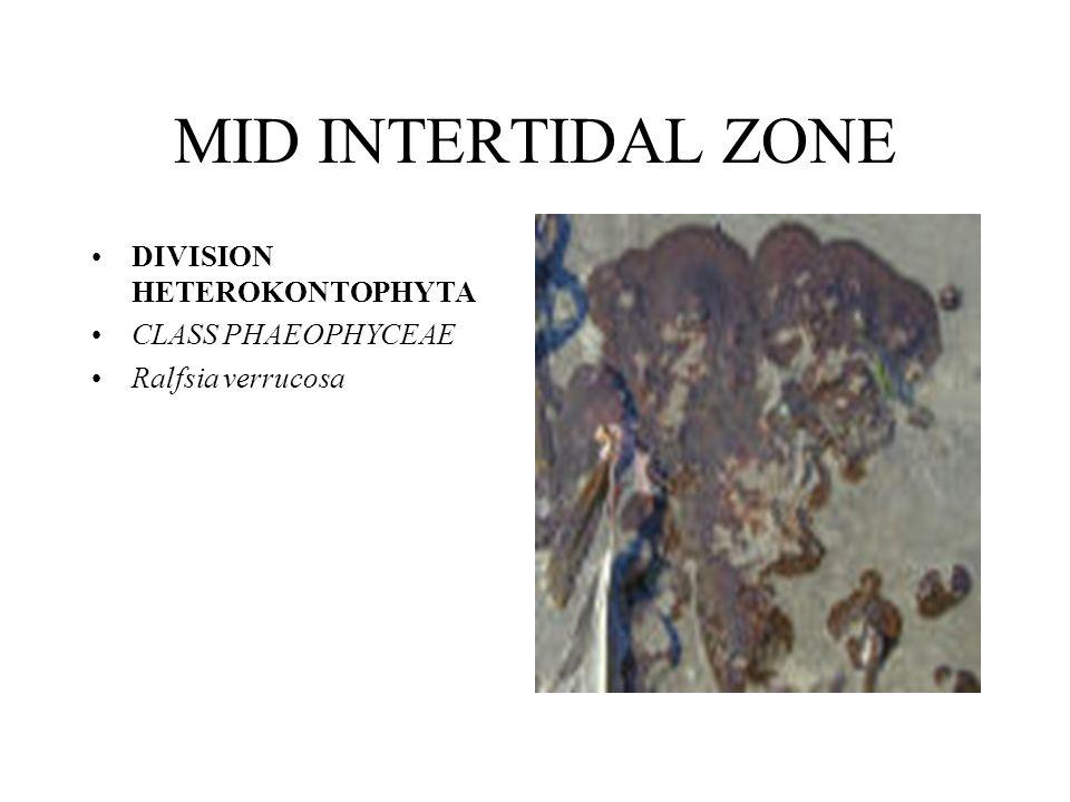 MID INTERTIDAL ZONE DIVISION HETEROKONTOPHYTA CLASS PHAEOPHYCEAE