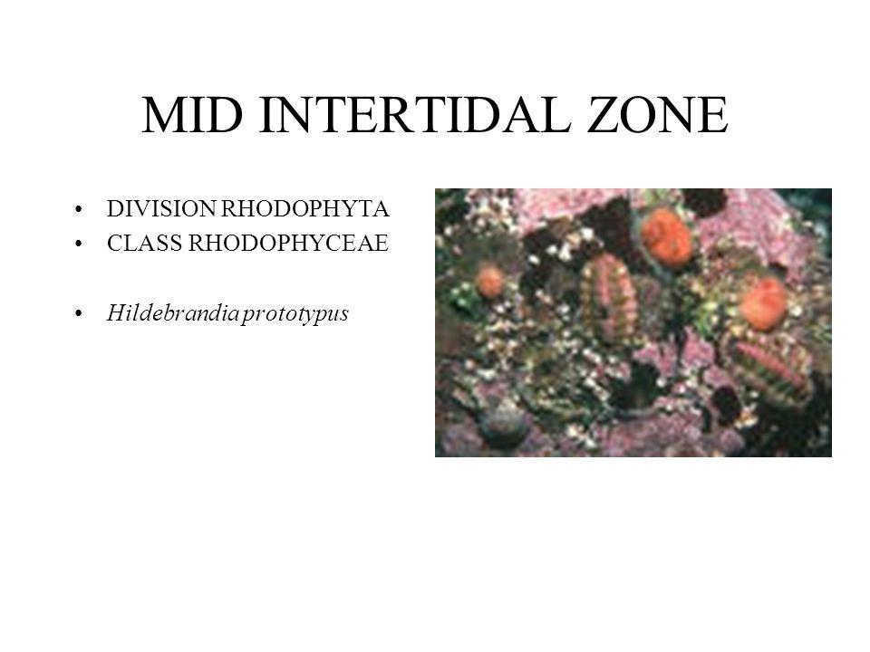 MID INTERTIDAL ZONE DIVISION RHODOPHYTA CLASS RHODOPHYCEAE