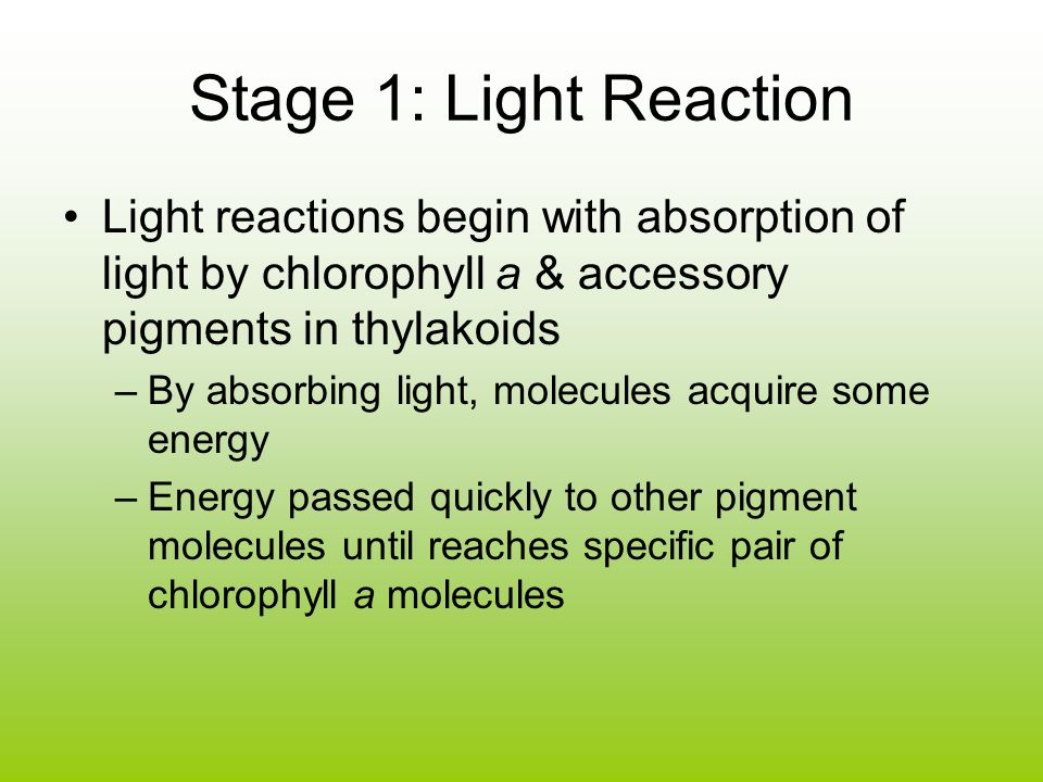 Stage 1: Light Reaction Light reactions begin with absorption of light by chlorophyll a & accessory pigments in thylakoids.